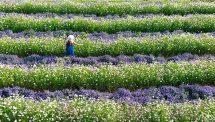 Thưởng thức hoa cùng đồ uống tươi, sạch tại F cánh đồng hoa Đà Lạt